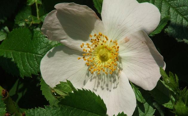 <b>Hecken-Rose - <i>Rosa corymbifera</i></b>