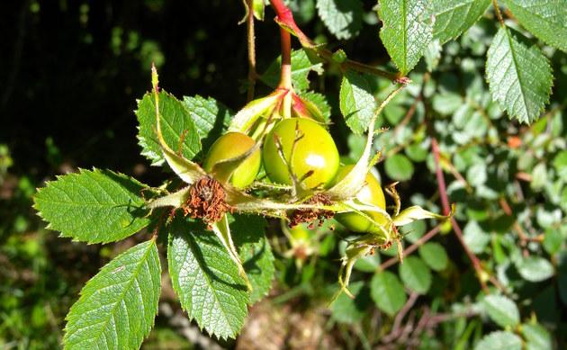 <b>Keilblättrige Rose - <i>Rosa elliptica</i></b>