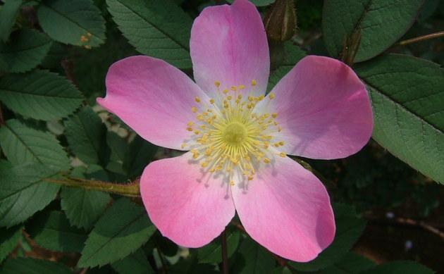 <b>Rotblatt-Rose - <i>Rosa glauca</i></b>