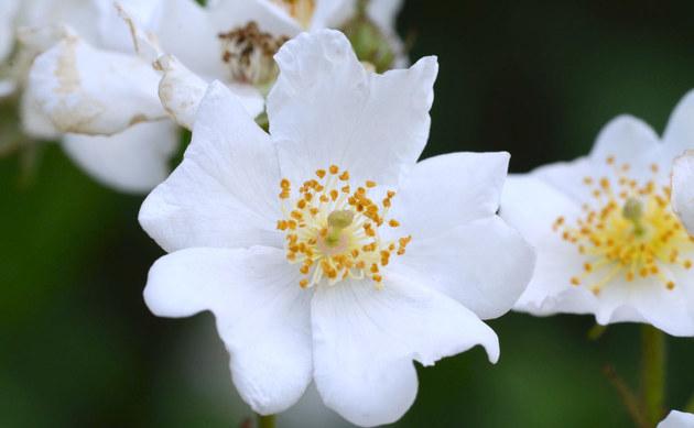 <b>Kleinblütige Rose - <i>Rosa micrantha</i></b>