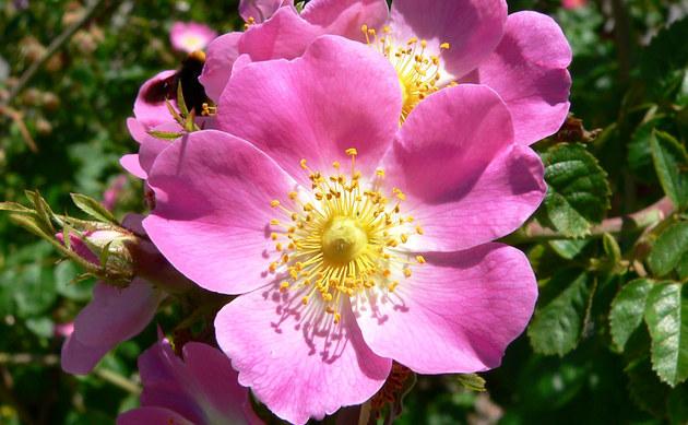 <b>Wein-Rose - <i>Rosa rubiginosa</i></b>