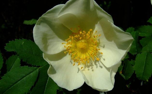 <b>Bibernell-Rose - <i>Rosa pimpinellifolia</i></b>