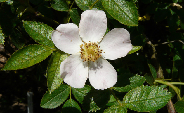 <b>Falsche Heckenrose - <i>Rosa subcollina</i></b>
