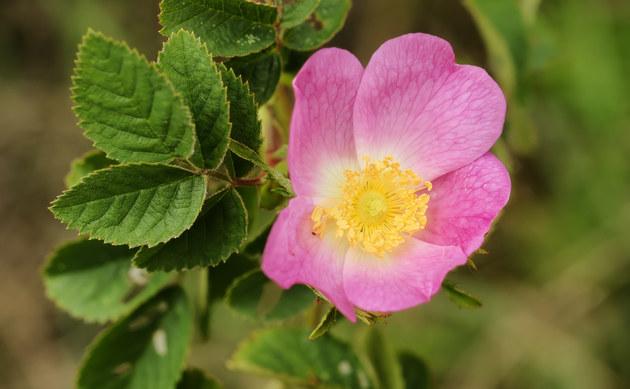 <b>Filz-Rose - <i>Rosa tomentosa</i></b>