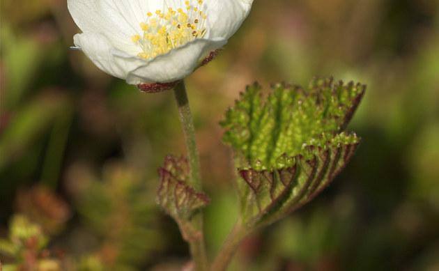 <b>Moltebeere - <i>Rubus chamaemorus</i></b>