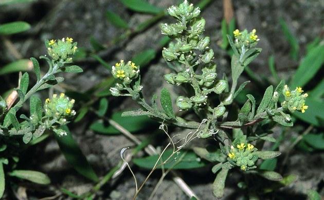 <b>Kelch-Steinkraut - <i>Alyssum alyssoides</i></b>