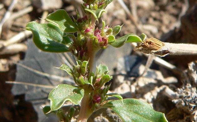 <b>Weißer Fuchsschwanz - <i>Amaranthus albus</i></b>