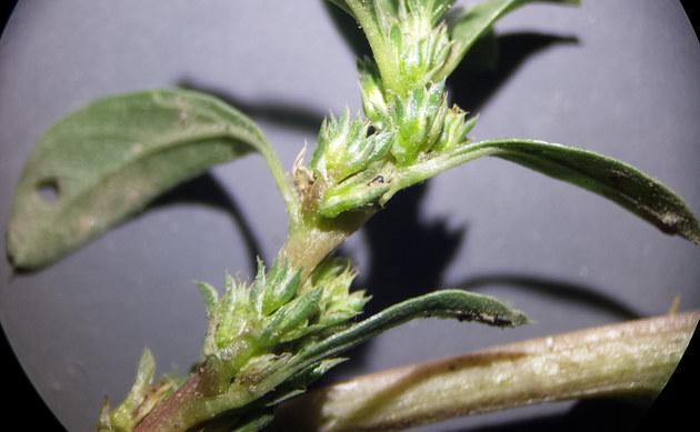 <b>Westamerikanischer Fuchsschwanz - <i>Amaranthus blitoides</i></b>
