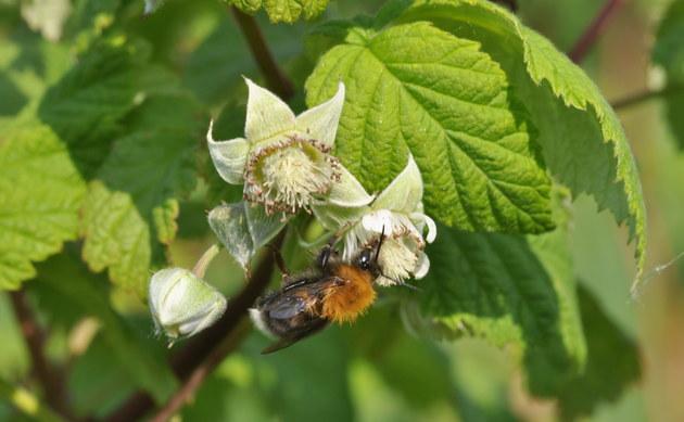 <b>Himbeere - <i>Rubus idaeus</i></b>