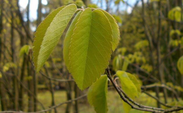 <b>Besen-Felsenbirne - <i>Amelanchier spicata</i></b>