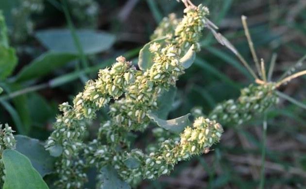 <b>Schmalblättriger Ampfer - <i>Rumex stenophyllus</i></b>
