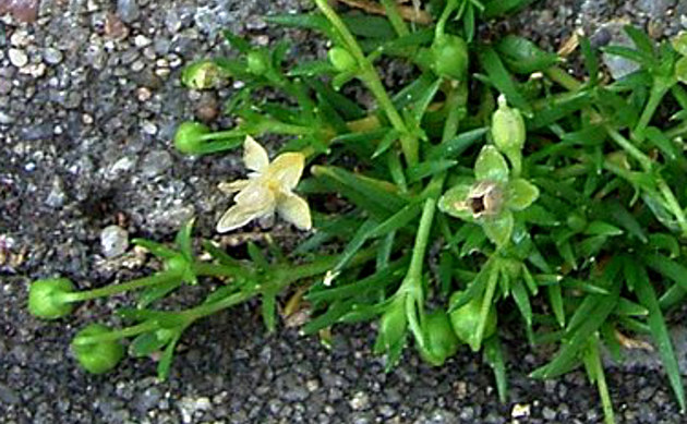 <b>Niederliegendes Mastkraut - <i>Sagina procumbens</i></b>