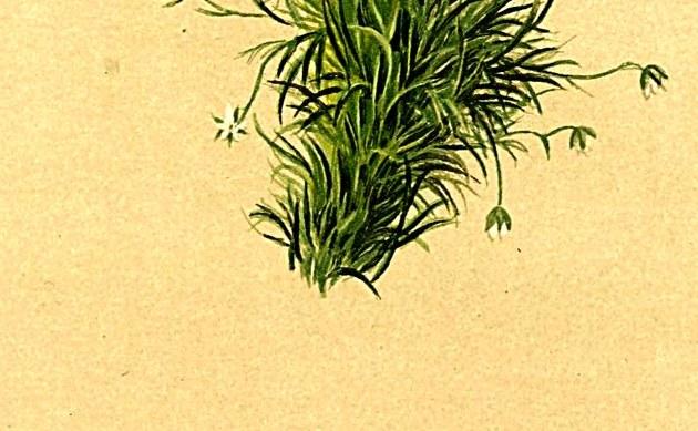 <b>Alpen-Mastkraut - <i>Sagina saginoides</i></b>