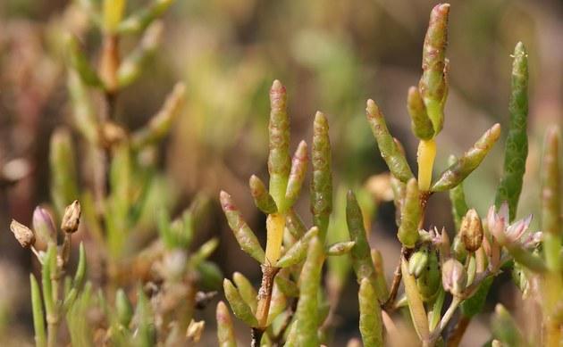 <b>Kurzähren-Queller - <i>Salicornia europaea</i></b>