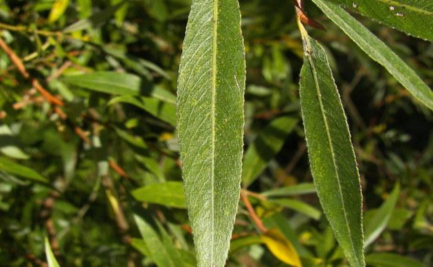 <b>Silber-Weide - <i>Salix alba</i></b>