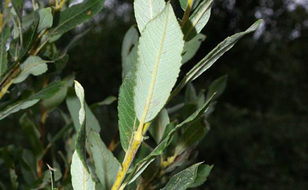 <b>Rostrote Weide - <i>Salix atrocinerea</i></b>