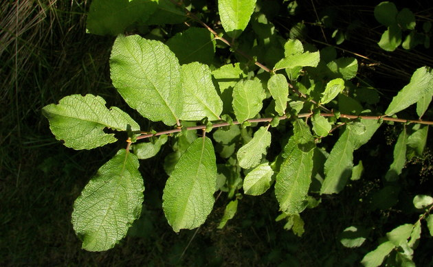 <b>Ohr-Weide - <i>Salix aurita</i></b>