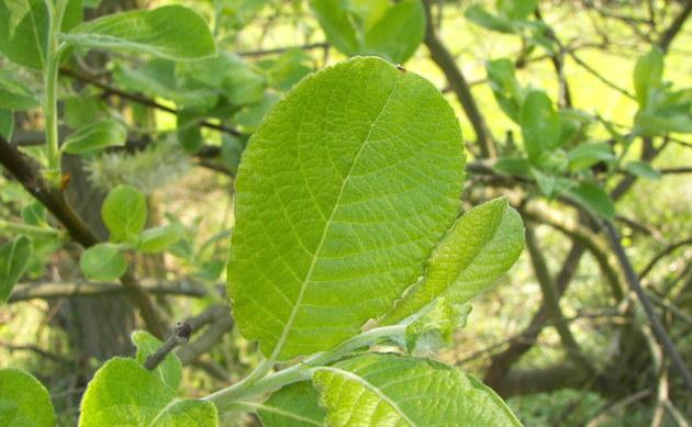 <b>Sal-Weide - <i>Salix caprea</i></b>