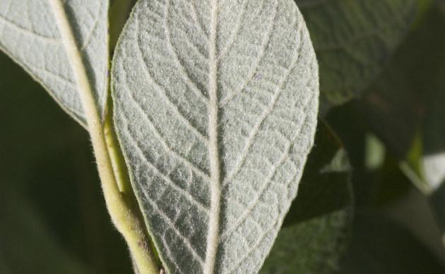 <b>Grau-Weide - <i>Salix cinerea</i></b>