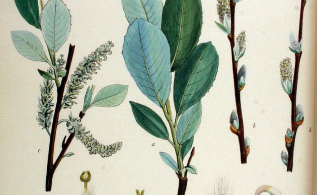 <b>Reif-Weide - <i>Salix daphnoides</i></b>