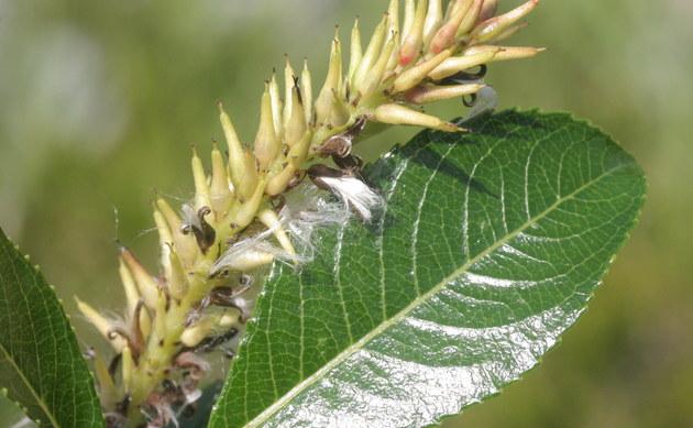<b>Kahle Weide - <i>Salix glabra</i></b>