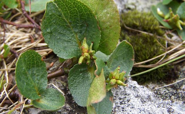 <b>Kraut-Weide - <i>Salix herbacea</i></b>
