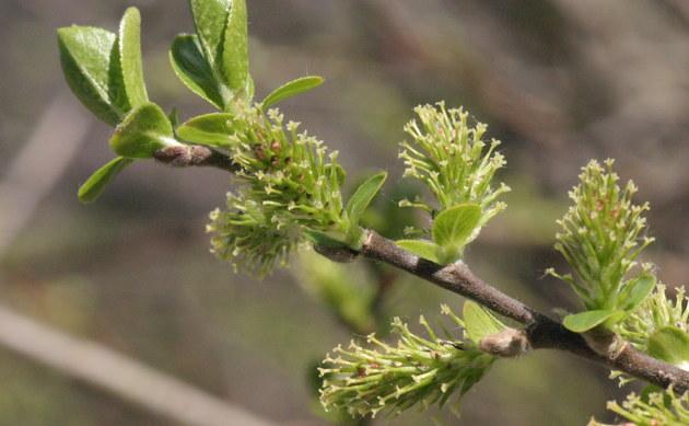<b>Schwarz-Weide - <i>Salix myrsinifolia</i></b>