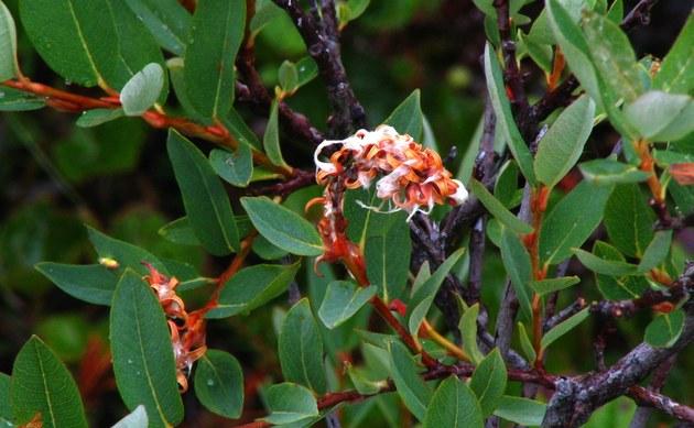 <b>Heidelbeer-Weide - <i>Salix myrtilloides</i></b>