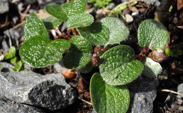 <b>Netz-Weide - <i>Salix reticulata</i></b>