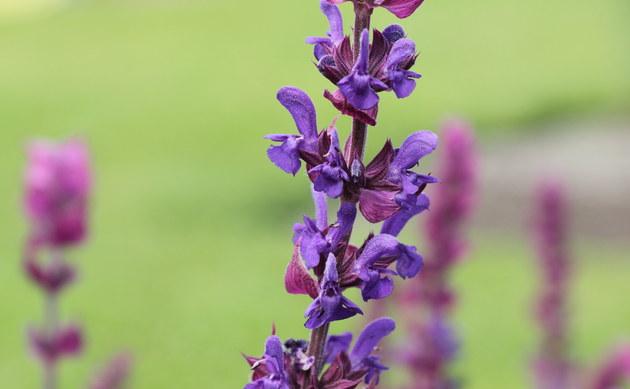 <b>Hain-Salbei - <i>Salvia nemorosa</i></b>