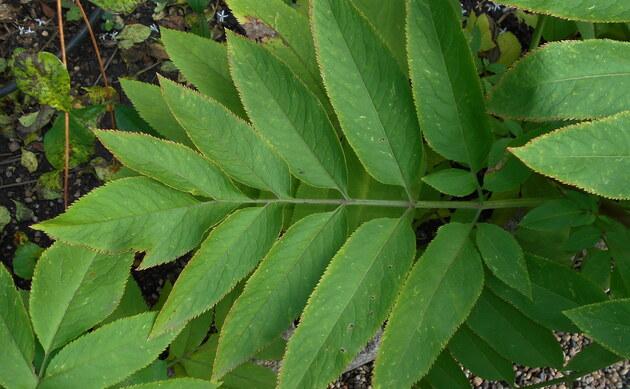 <b>Zwerg-Holunder - <i>Sambucus ebulus</i></b>