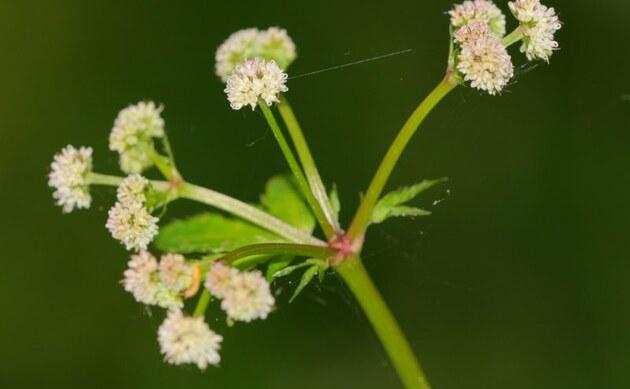 <b>Wald-Sanikel - <i>Sanicula europaea</i></b>