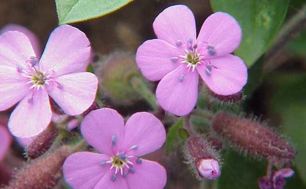 <b>Rot-Seifenkraut - <i>Saponaria ocymoides</i></b>