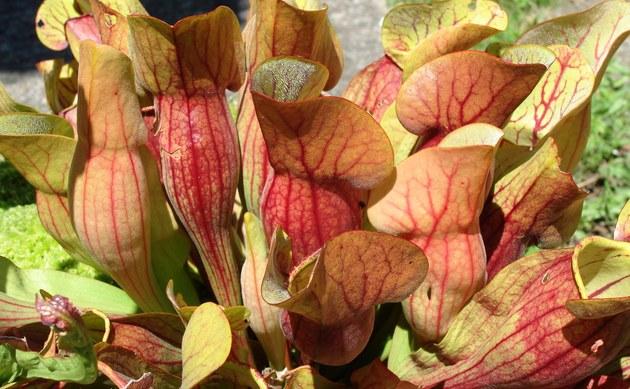 <b>Braunrote Schlauchpflanze - <i>Sarracenia purpurea</i></b>