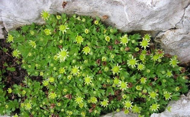 <b>Blattloser Steinbrech - <i>Saxifraga aphylla</i></b>