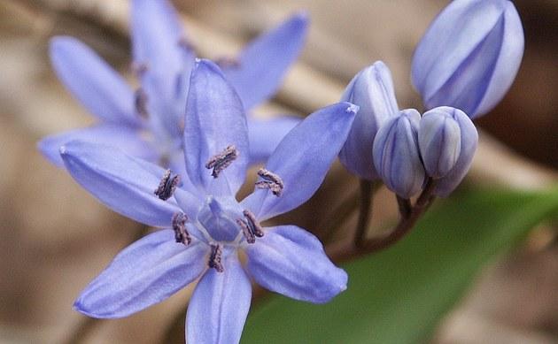 <b>Zweiblättriger Blaustern - <i>Scilla bifolia</i></b>