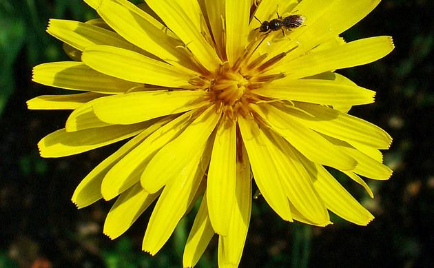 <b>Gewöhnliche Garten-Schwarzwurzel - <i>Scorzonera hispanica</i></b>