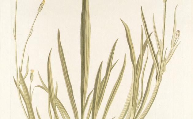 <b>Kleinblütige Schwarzwurzel - <i>Scorzonera parviflora</i></b>