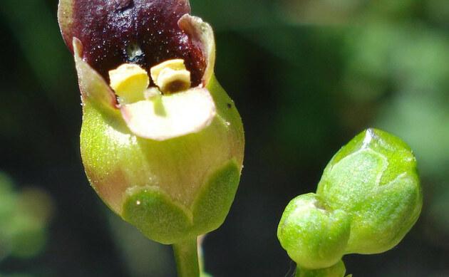 <b>Knotige Braunwurz - <i>Scrophularia nodosa</i></b>