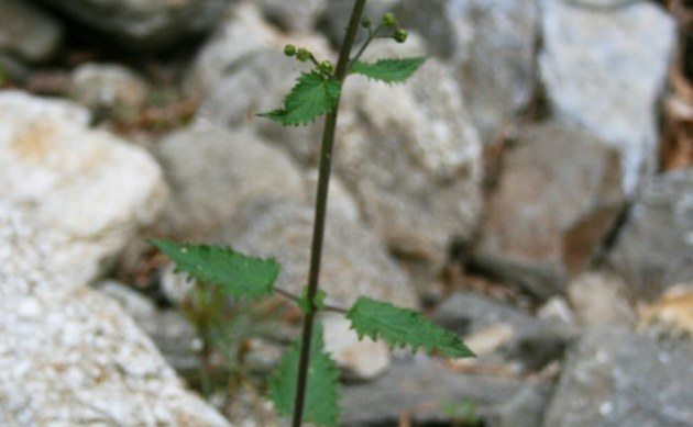 <b>Drüsige Braunwurz - <i>Scrophularia scopolii</i></b>