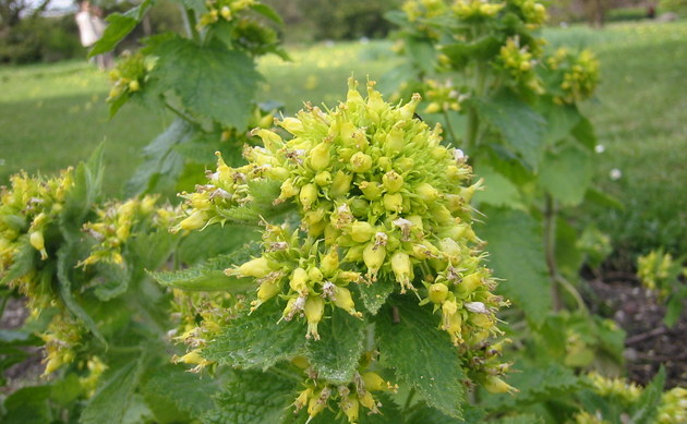 <b>Frühlings-Braunwurz - <i>Scrophularia vernalis</i></b>