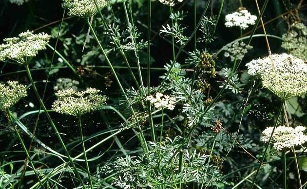 <b>Kümmel-Silge - <i>Selinum carvifolia</i></b>