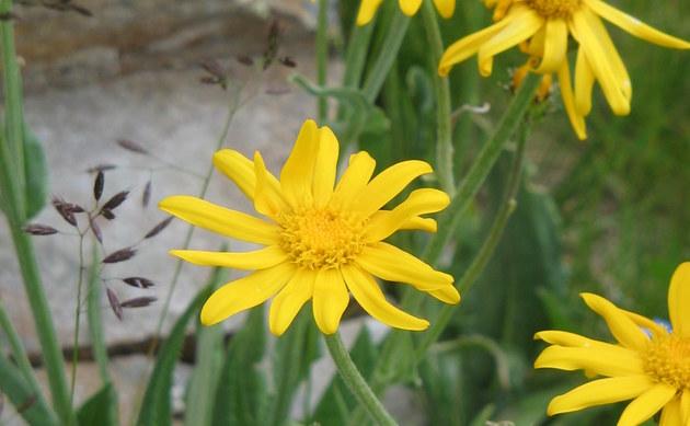 <b>Gemswurz-Greiskraut - <i>Senecio doronicum</i></b>