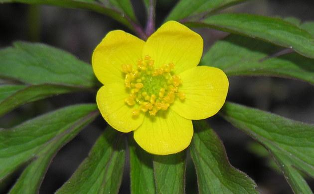 <b>Gelbes Windröschen - <i>Anemone ranunculoides</i></b>