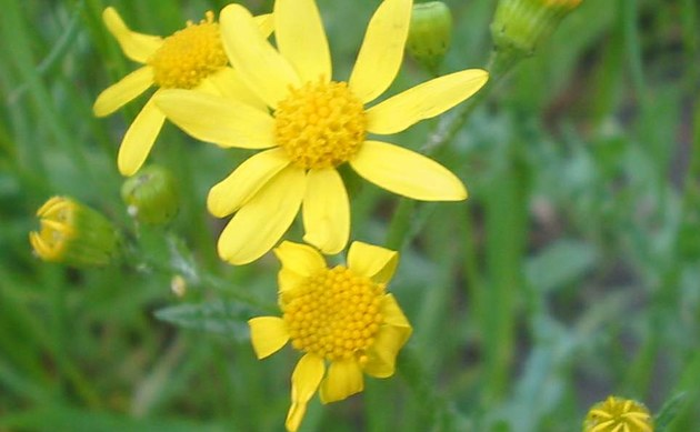 <b>Frühlings-Greiskraut - <i>Senecio vernalis</i></b>