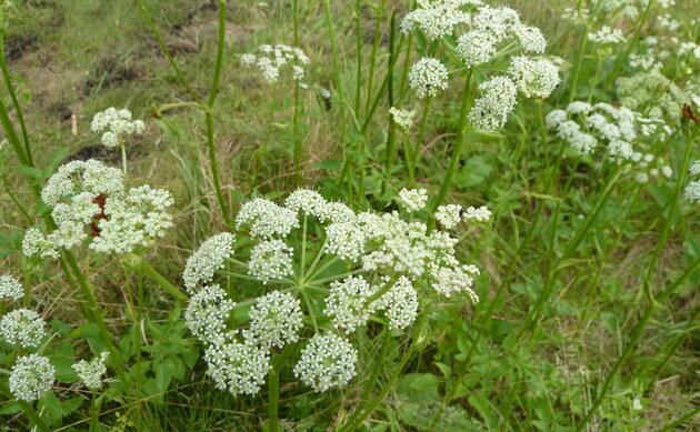 <b>Sumpf-Engelwurz - <i>Angelica palustris</i></b>