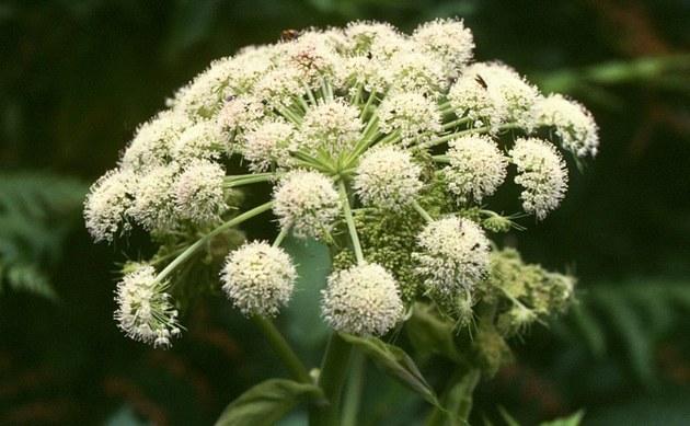<b>Wald-Engelwurz - <i>Angelica sylvestris</i></b>