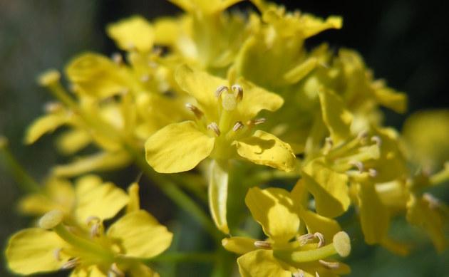 <b>Loesels Rauke - <i>Sisymbrium loeselii</i></b>