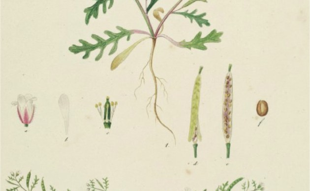<b>Niedrige Rauke - <i>Sisymbrium supinum</i></b>