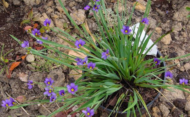 <b>Bermuda-Blauauge - <i>Sisyrinchium montanum</i></b>